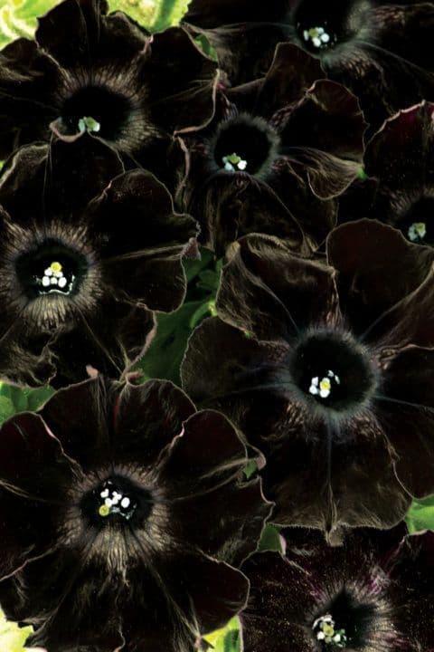 Petunia WFL® Crazytunia® Black Mamba